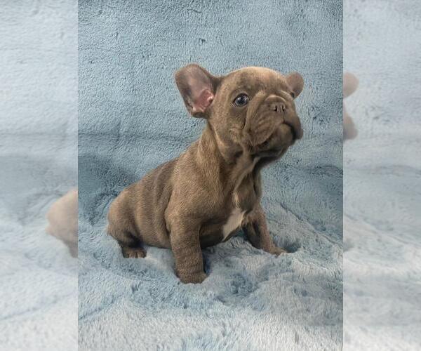 Medium Photo #4 French Bulldog Puppy For Sale in PHILA, PA, USA