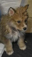 Wolf Hybrid Puppy For Sale in ODESSA, TX, USA