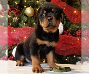 Rottweiler Puppy for Sale in PINE GROVE, Pennsylvania USA