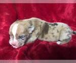 Puppy 1 Olde English Bulldogge