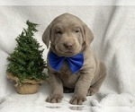 Small #5 Labrador Retriever