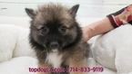 Pomeranian Puppy For Sale in LA MIRADA, California,
