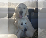 Small Photo #12 Golden Retriever Puppy For Sale in PIEDMONT, SC, USA