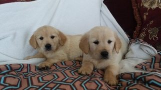 Golden Retriever Puppy For Sale in CANTRIL, IA, USA