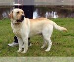 Small #8 Labrador Retriever