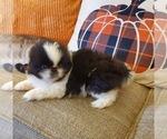 Small #5 Pekingese