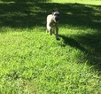 Irish Wolfhound Puppy For Sale in WAYNESBURG, KY, USA