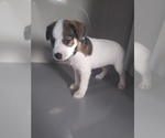 Puppy 1 Jack Russell Terrier-Schnauzer (Miniature) Mix