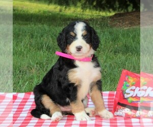 Bernedoodle Puppy for sale in WASHINGTON BORO, PA, USA