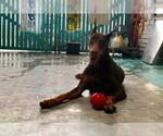 Small #13 Doberman Pinscher
