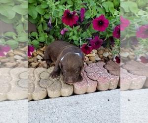 Labrador Retriever Puppy for sale in GRABILL, IN, USA