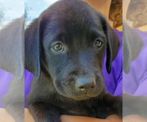 Labrador Retriever Dog for Adoption in TUCSON, Arizona USA