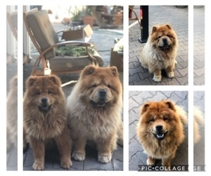 Father of the Chow Chow puppies born on 10/27/2020
