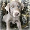 Labrador Retriever Puppy For Sale in OGDEN, UT