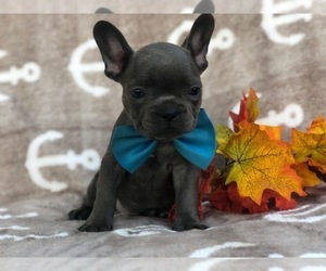 French Bulldog Puppy for sale in CEDAR LANE, PA, USA
