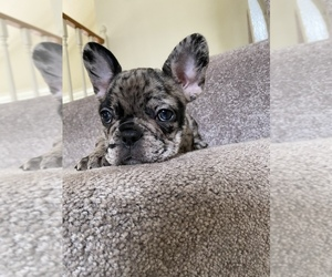 French Bulldog Puppy for sale in GLENDORA, CA, USA