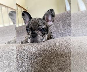 French Bulldog Puppy for sale in GLENDORA, CA, USA