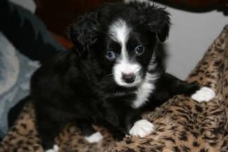 Miniature Australian Shepherd Puppy For Sale in SEQUIM, WA, USA