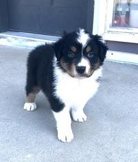Australian Shepherd Puppy For Sale in ELIZABETH, CO, USA