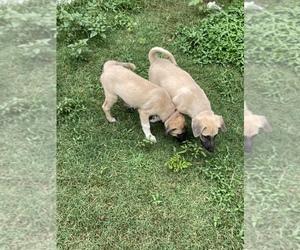 Anatolian Shepherd Dog for Adoption in IVA, South Carolina USA
