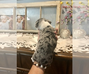 Rat Terrier Puppy for sale in ODEM, TX, USA