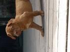 Dogue de Bordeaux Puppy For Sale in LAKELAND, FL