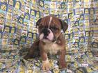 Bulldog Puppy For Sale in RICHMOND, VA,