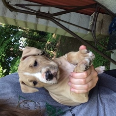 American Pit Bull Terrier Puppy for sale in ADRIAN, MI, USA