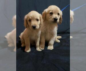 Golden Retriever Puppy for Sale in SAN DIEGO, California USA