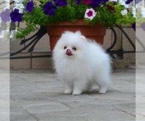 Pomeranian Puppy for sale in BROOKLYN, NY, USA