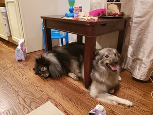 Father of the Keeshond puppies born on 12/29/2018