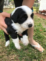 Aussiedoodle Puppy For Sale in MIAMI, FL, USA