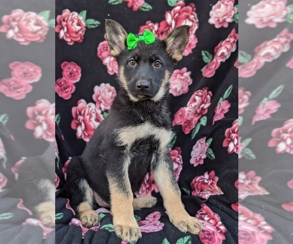 Medium Photo #1 German Shepherd Dog Puppy For Sale in NEW PROVIDENCE, PA, USA