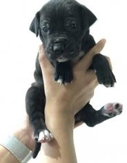 Great Dane Puppy For Sale in WINFIELD, AL, USA