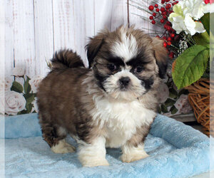 Shih Tzu Dog for Adoption in PENNS CREEK, Pennsylvania USA