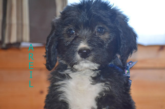 Bernedoodle Puppy For Sale in FLORA, IL, USA