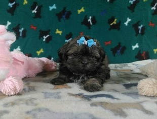 View Ad Shih Tzu Puppy For Sale Near North Carolina Winston Salem