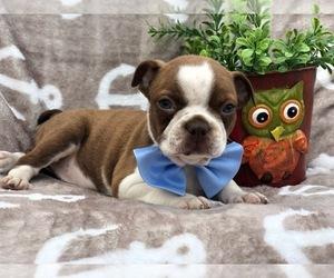 Boston Terrier Puppy for sale in CEDAR LANE, PA, USA