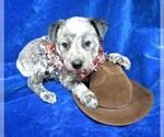 Puppy 6 Australian Cattle Dog