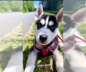 Alaskan Husky Puppy for sale in HARTFORD, CT, USA