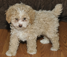 Poodle (Toy) Puppy For Sale in GLENWOOD CITY, WI