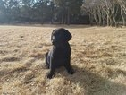 Labrador Retriever Puppy For Sale in COLORADO SPRINGS, Colorado,