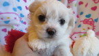 5 Week Old Toy Maltese Female With Button Nose