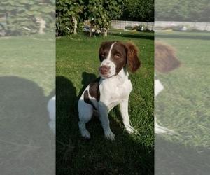 Brittany Puppy for Sale in BENTON CITY, Washington USA