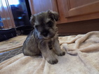 Schnauzer (Miniature) Puppy For Sale in STEDMAN, NC