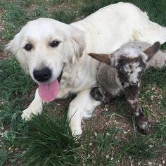 View Ad: Golden Retriever Puppy for Sale near Colorado