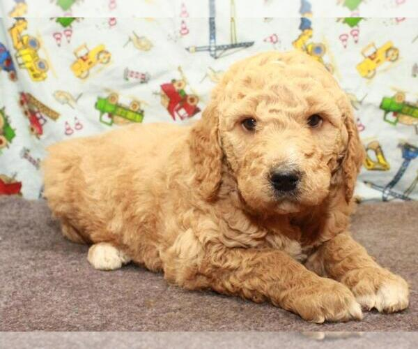 Medium Photo #1 Labradoodle Puppy For Sale in SHAWNEE, OK, USA