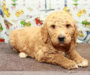 Labradoodle Puppy for Sale in SHAWNEE, Oklahoma USA