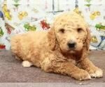Small Photo #1 Labradoodle Puppy For Sale in SHAWNEE, OK, USA