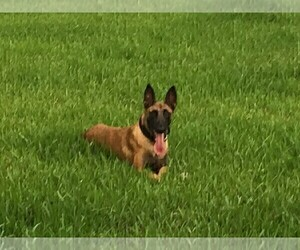 Mother of the Belgian Malinois puppies born on 06/30/2021